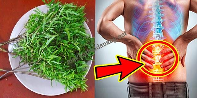 Uống nước lá đinh lăng mỗi ngày để nâng cao sức khỏe