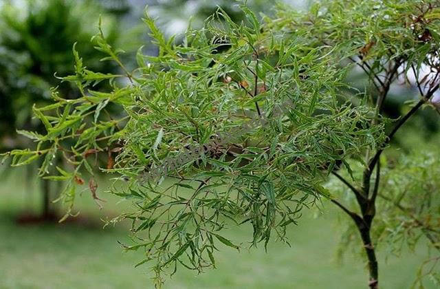 Cây đinh lăng lá nhỏ có công dụng đa dạng