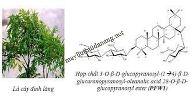 Saponin có trong đinh lăng gây hại với người mắc hội chứng ruột kích thích