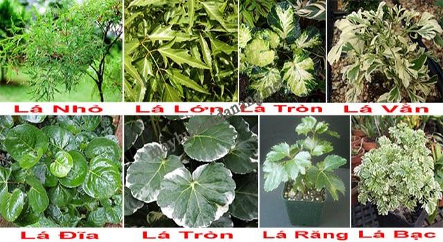 Các loại lá cây đinh lăng phổ biến