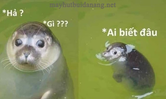 Meme của bé hải cẩu Shy Seal - nhìn cũng hợp đó chứ!