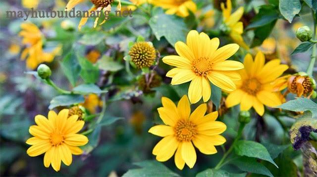 Chiêm ngưỡng hoa dã quỳ mùa đông