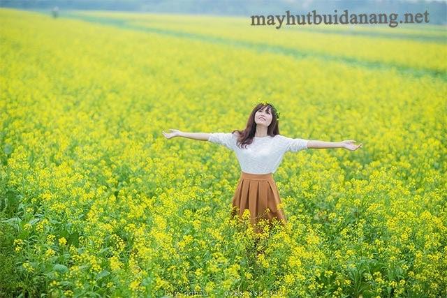 Cánh đồng hoa cải vàng nở rộ từ cuối tháng 11
