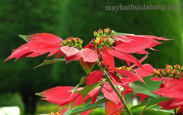 Hoa trạng nguyên khoe sắc đỏ thắm